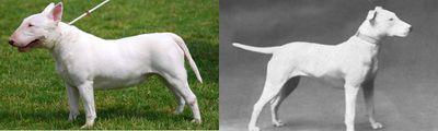 <strong>Bull terrier</strong>