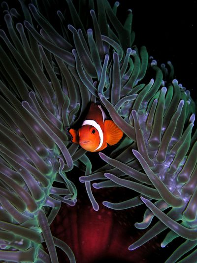 <strong>Clownfish</strong>