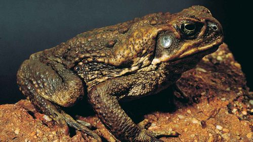 Toxin used to trap cane toad tadpoles