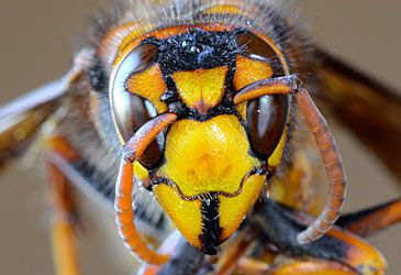 Daily Quiz: 'Murder hornets' are endemic to which continent?
