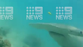 Hammerhead shark comes face to face with man on Queensland reef.