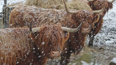 It's Friday, so here are some photos of highland cattle