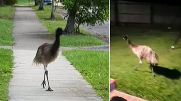 'Sure enough, there's an emu running down the road'