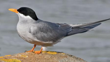 File picture of a black-fronted tern.