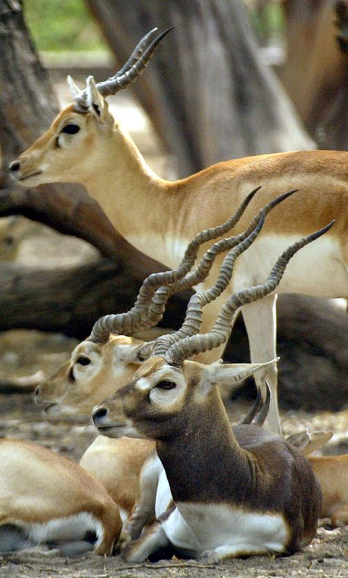 The blackbuck deer is an endangered species protected under the Indian Wildlife Act. (AAP)