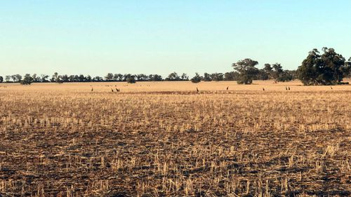 Starved kangaroos search the barren landscape for food and target any crops that sprout.
