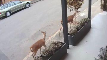 Two deer strolling down a Sydney street.
