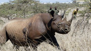 A 4-year old female black rhino at Nairobi National Park. (AAP)