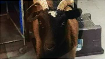 Workers at a Wingfield factory were startled this morning when they walked in on a goat inside.
