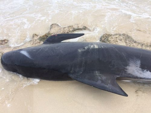 Short-finned pilot whales have a history of mass strandings in Western Australia. (DBCA Media)