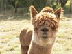 Aussie researchers using alpacas to find alternative COVID-19 treatment