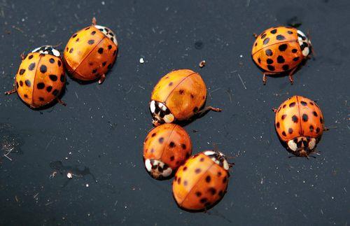 Massive ladybug swarm over California