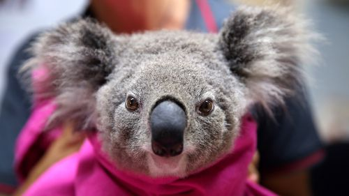 A koala named Lisa from Pappinbarra recovers from burns at The Port Macquarie Koala Hospital. More than 2000 of the marsupials are feared dead in recent bushfires.