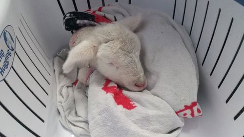 Orphaned baby lamb adopted by Western Australian police officer