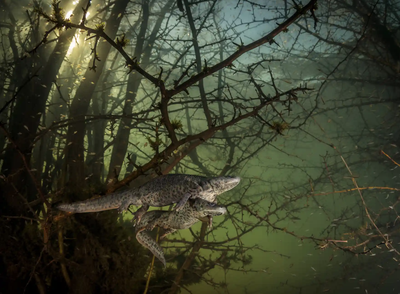 'Where the giant newts breed'. Winner - Behaviour: Amphibians and reptiles.