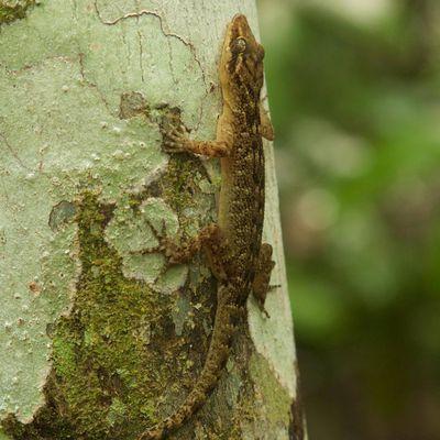 Christmas Island forest gecko