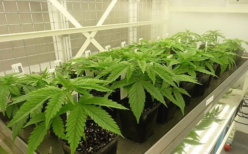 A picture of the Victorian government's medicinal cannabis crop. Picture: AAP