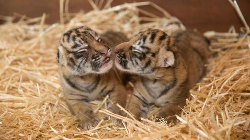 The cubs are yet to be named. (Image courtesy of Dreamworld)