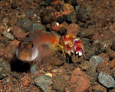 <strong>Pistol shrimp</strong>