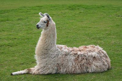 <strong>#4 Llama</strong>