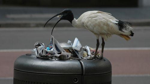 Man charged after allegedly strangling ibis to death in Brisbane's CBD