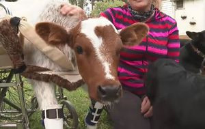 Wheelchair-bound calf Buttons given second chance at life
