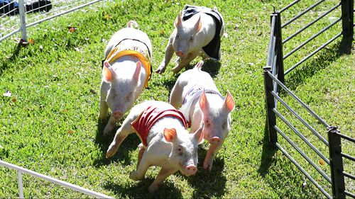 The pig races drew an appreciative audience.