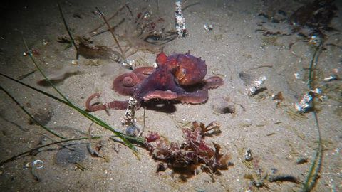 Octopus seems to disappear into the sand