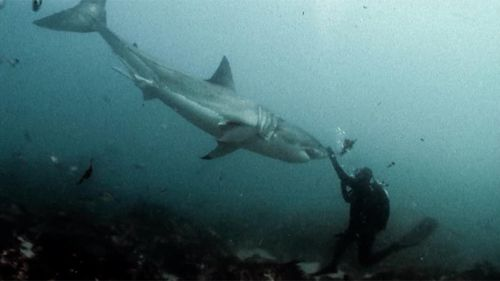 As the largest predatory fish on Earth, great white sharks can grow to an average of 4.5m in length, though individuals exceeding 6m have been recorded. (Facebook)