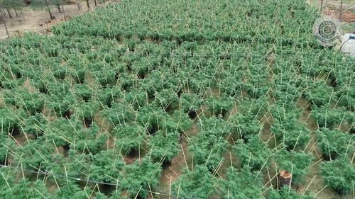 Queensland Police have uncovered a major cannabis operation 50 kilometres west of Warwick.