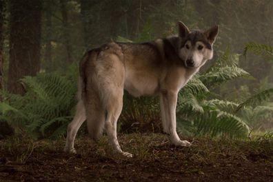 Nymeria the direwolf