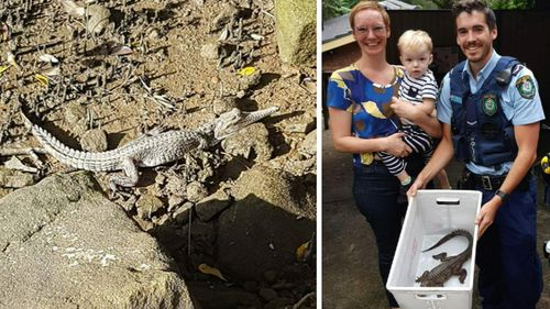 The baby croc is one of two missing from a mobile Sydney wildlife show. (9NEWS)