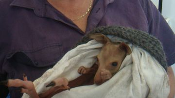 Three joeys have been left orphaned after 20 kangaroos were hit and killed on the NSW South Coast.