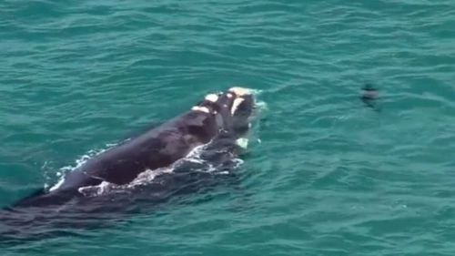 There has been an increase in whale sightings on the east coast in recent weeks. Image: Supplied