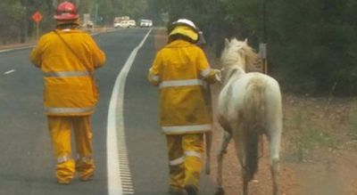 <p>There have been shattering scenes in Yarloop as the out-of-control Waroona bushfire races through 55,000 hectares, claiming 95 homes and leaving just 30 standing in the small historic town.  </p><p>Fire crews rescue a pony in the small town of Yarloop. (Ebony Hill)</p>