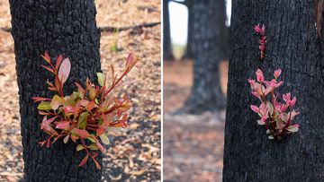 New life bursts from the charred trunk of a tree in Kulnara, on the NSW Central Coast.