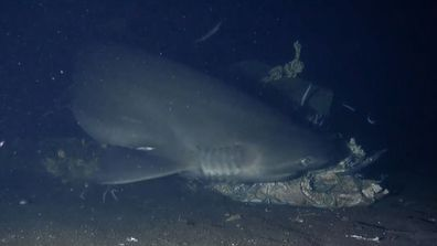 Alien sharks bluntnose sixgill shark