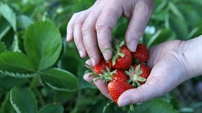 The fruit-picker travelled from Victoria to a strawberry farm in Queensland while infected with COVID-19.
