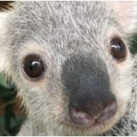 Australia's cutest koala joey named