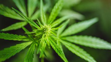 World-first cannabis cream to treat acne