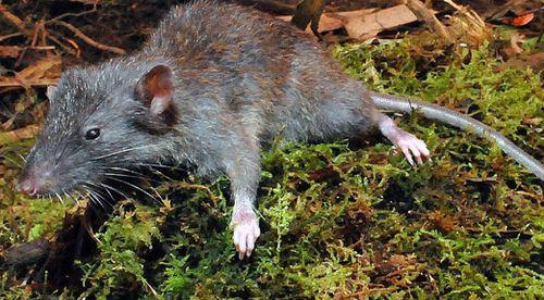 The slender rat. (Dr Kevin Rowe)