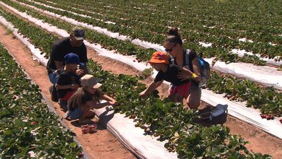 Thousands flock to farms to support growers on 'Strawberry Sunday'