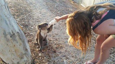 A woman is seen giving water to a thirsty koala. (Twitter)