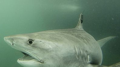 A tiger shark called Collette was found swimming near North West Island off the coast of Queensland today. The shark is 3.76 metres long and is being tracked in cooperation with OCEARCH. The tiger shark was tagged by Dr Adam Barnett's team at the Biopixel Oceans Foundation.