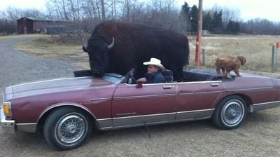 A Canadian man drives around a massive 826kg buffalo which he keeps as a pet.