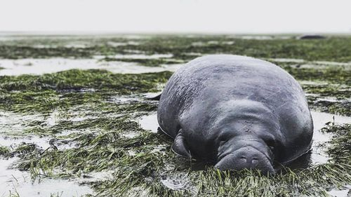 Manatees became trapped in a Florida bay after its water got dragged out into the hurricane. (AP)
