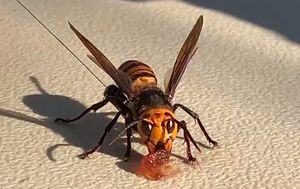 Giant murder hornets 'vacuumed' from nest in USA