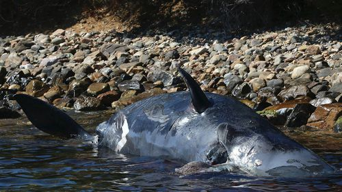 News World pregnant whale washed up Italy beach 22kg plastic in stomach
