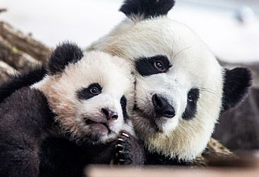 Daily Quiz: Which family of mammals is the giant panda a member of?