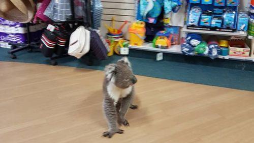 The koala's visit has gone viral on social media. (Tocumwal Pharmacy)